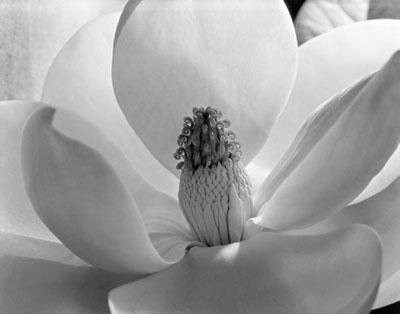 Magnolia_Blossom_1925